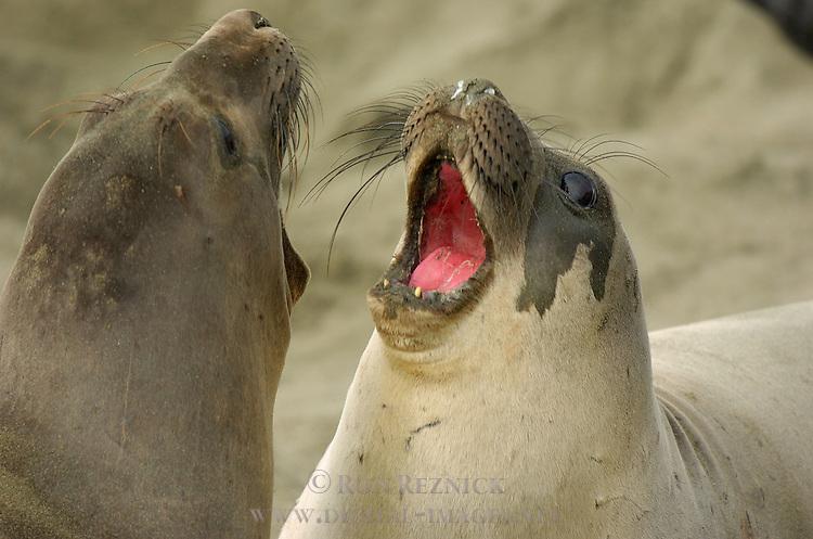 Elephant Seal Females Fighting, Close Portrait, Northern Elephant Seal, Piedras Blancas Rookery, San Simeon, California