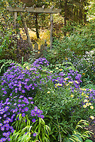 Fall September autumn flower garden with Aster dumosus Sapphire, Coreopsis Full Moon, trellis and picket fence, Physocarpus, Hakonechloa Allgold, Kolkwitzia Dreamcatcher, Syringa, fall foliage trees