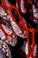 Gooseneck Barnacles (Mitella polymerus), cover the rocky reef to a depth of 90 feet in Nakwackto Rapids in  British Columbia, Canada.  Nomally living in the intertidal zone on expesed reefs, the incredibly fast tidal currents here...  allow them to live far deeper.