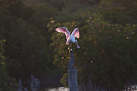 Roseate Spoonbill (Ajaia ajaja) at Pelican Island National Wildlife Refuge, Vero Beach, Florida, US