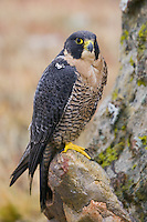 Peregrine Falcon (falco peregrinus) perched on a rock in front of a lichen covered rock face near Denver, Colorado, USA