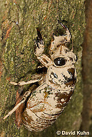0901-0803  Dog-day Cicada Nymph Climbing into Position to Emerge into Adult, Tibicen spp.  © David Kuhn/Dwight Kuhn Photography.