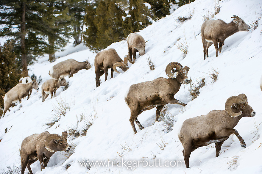 Rocky Mountain Bighorn Sheep (Ovis canadensis canadensis) searching for grazing beneath deep snow. Lamar Valley, Yellowstone National Park, Wyoming, USA. January