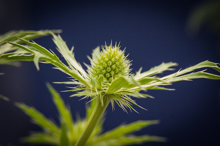 Eryngium 'Neptune's Gold', shortlisted for Plant of the Year at the RHS Chelsea Flower Show, 2014.