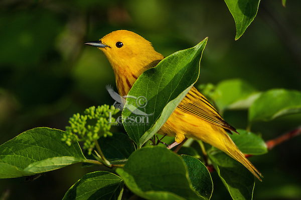 Male Yellow Warbler (Dendroica petechia).  A common warbler found throughout North America.  Spring.