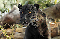 Le Jaguar Aramis, en sortie de sa loge sur son plateau exterieur, premiere sortie de l'animal a la suite de son transfert depuis la Menagerie du Jardin des Plantes, new Parc Zoologique de Paris, or Zoo de Vincennes, (Zoological Gardens of Paris, also known as Vincennes Zoo), Museum National d'Histoire Naturelle (National Museum of Natural History), 12th arrondissement, Paris, France. Picture by Manuel Cohen
