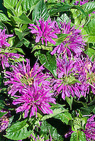 Monarda didyma 'Blue Stocking' in bloom, beebalm flowers