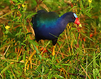 Adult purple gallinule