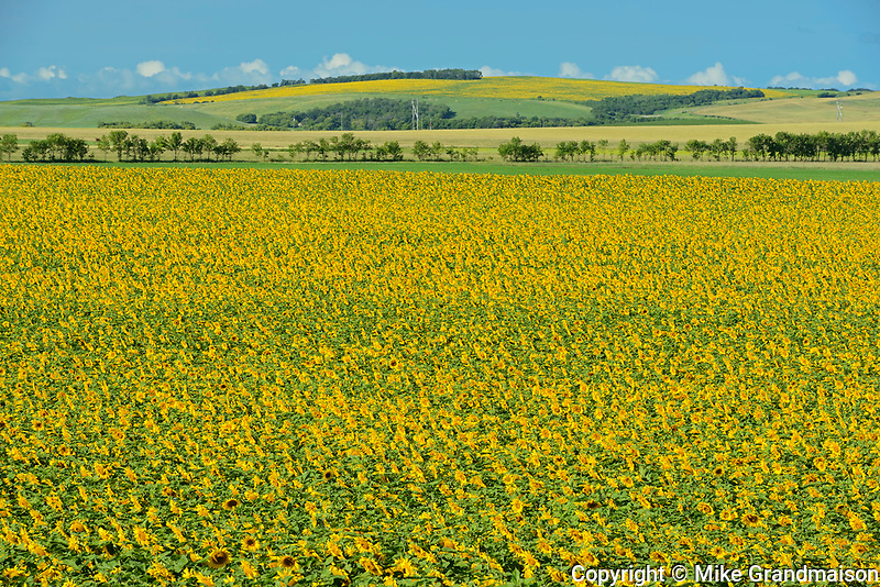 Sunflower crop<br />