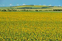 Sunflower crop<br />Holland<br />Manitoba<br />Canada