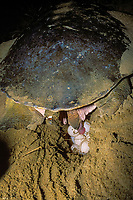 Australian flatback sea turtle, Natator depressus, laying eggs. Note electronic data logger (time/depth recorder) attached to rear of carapace. Queensland, Australia