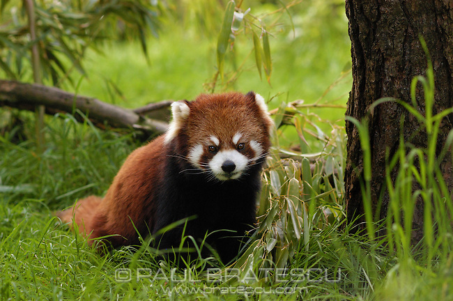 Red Panda (Ailurus fulgens) Red pandas range from northern Myanmar (Burma) to the west Sichuan and Yunnan Provinces of China