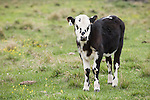 Brazoria County, Damon, Texas; black and white spotted calf standing in the pasture
