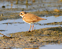 Adult semipalmated plover in winter plumage. This bird was observed using the foot vibration feeding strategy, same as the piping plovers.