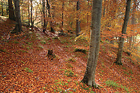 Beech Trees in Autumn in Rothiemurchus, Cairngorm National Park, Highland<br /> <br /> Copyright www.scottishhorizons.co.uk/Keith Fergus 2011 All Rights Reserved