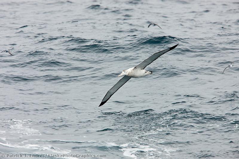 Wandering albatross in flight over the Southern Ocean