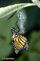 MO04-015z  Monarch Butterfly -adult emerging from chrysalis - Danaus plexippus