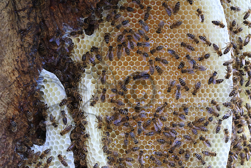 A swarm's parallel combs covered in bees.///Les rayons parallèles d'un essaim recouvert d'abeilles.