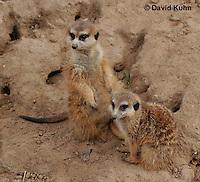 0215-08yy  Pair of Meerkats on Lookout, Suricata suricatta © David Kuhn/Dwight Kuhn Photography