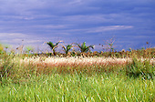 Bangweulu Swamps, Zambia. Papyrus marshes (Cyperus papyrus).