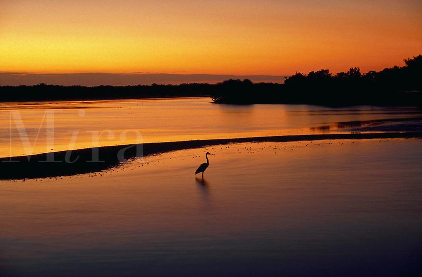 Great Blue Heron in pond at sunset, Ding Darling National Wildlife Refuge, Florida