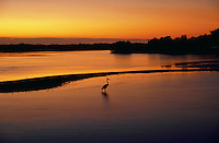 Great Blue Heron in pond at sunset, Ding Darling National Wildlife Refuge, Florida