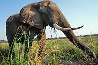 African elephant bull feeding (Loxodonta africana), Africa.