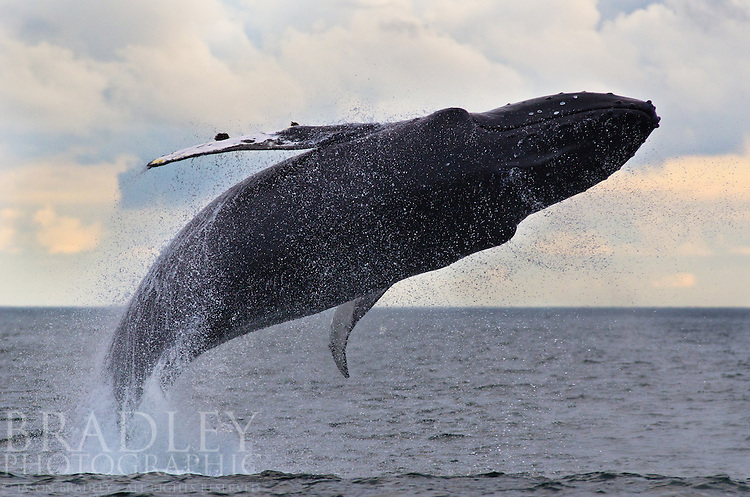 A humpback whale's full breach near the Inian Islands in Southeast Alaska; shot with a Nikon 300mm f2.8