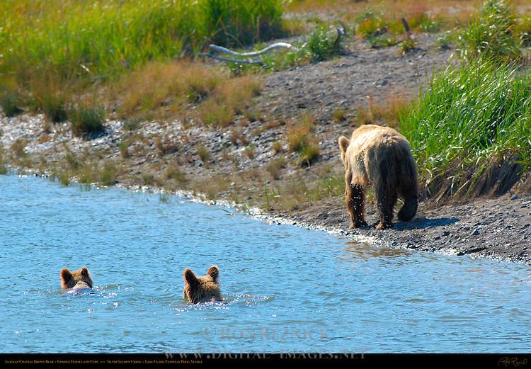 Alaskan Coastal Brown Bear, Golden Female and Cubs, Silver Salmon Creek, Lake Clark National Park, Alaska