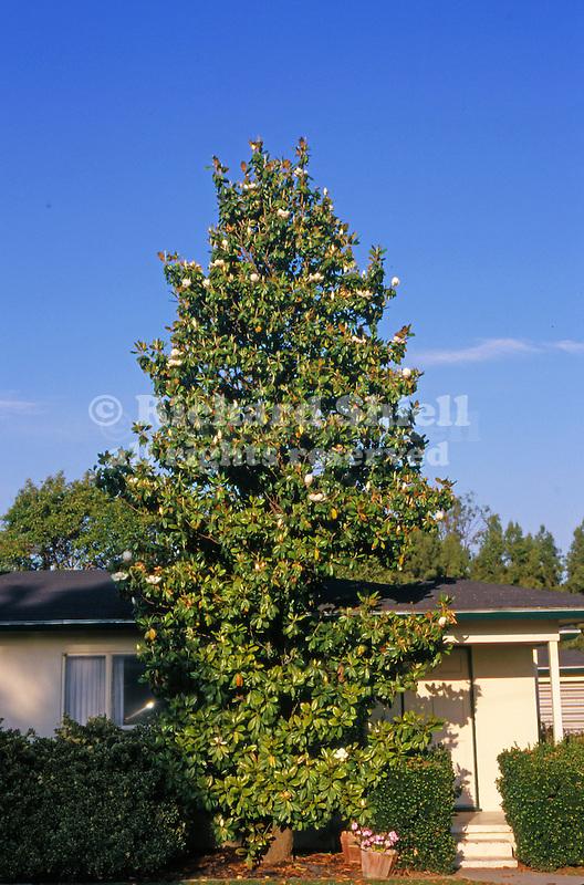 12180-CB Southern Magnolia, Magnolia grandiflora, evergreen tree blooming in May, at Bakersfield, CA USA