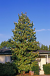 12180-CB Southern Magnolia, Magnolia grandiflora, evergreen tree blooming in May, at Bakersfield, CA USA