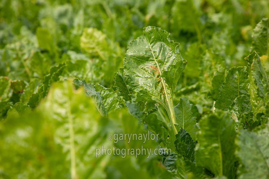 Sugar beet leaf - Lincolnshire, October