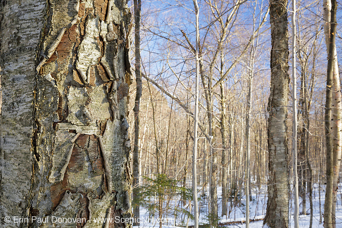 Birch tree in Kinsman Notch of the White Mountains, New Hampshire USA during the winter months.