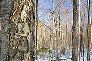 Birch tree in Kinsman Notch of the White Mountains, New Hampshire USA during the winter months