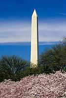 Washington, D.C.  Washington Monument, Cherry Blossoms in Foreground.