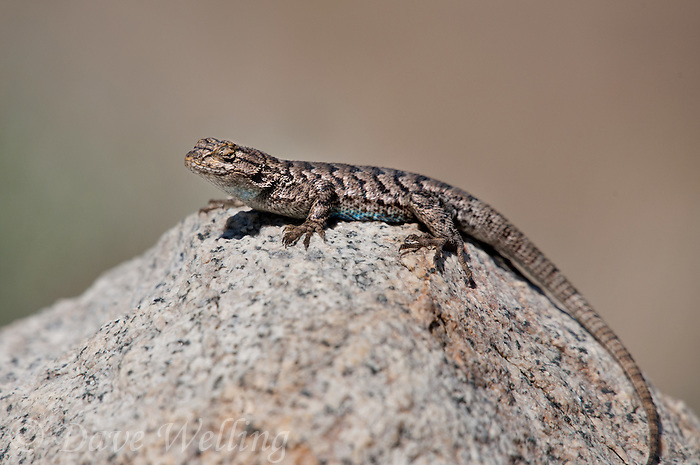 425900005 a wild great basin fence lizard sceloporus occidentalis longipes perches on a large granite rock in the buttermilks along the eastern sierras in inyo county california