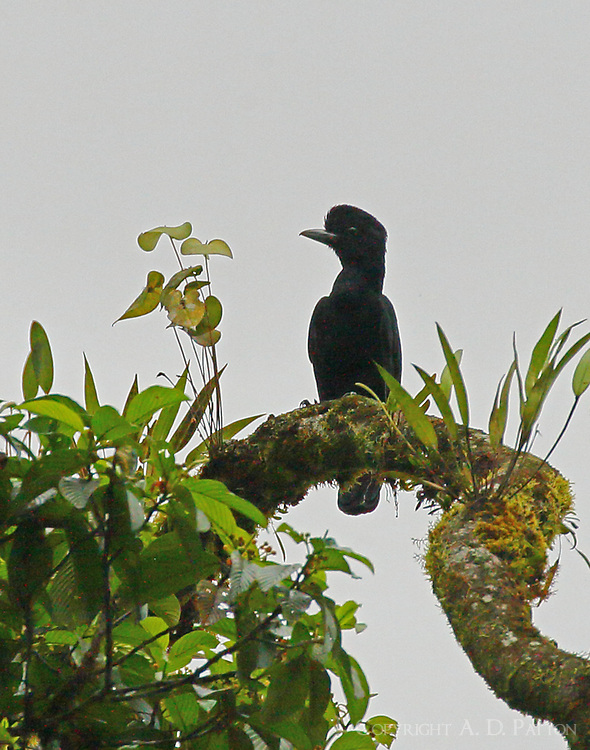Female long-wattled umbrellabird