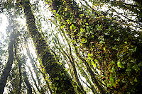 Trees in rainforest near Fox Glacier covered with kidney ferns, like with butterlies, Westland Tai Poutini National Park, West Coast, UNESCO World Heritage Area, New Zealand, NZ
