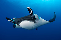 A curious Giant Manta, Manta birostris, makes a very close pass. San Benedicto Island, Revillagigedo Archipelago, Mexico, Pacific Ocean