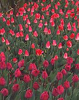 Tulip Field in Skagit Valley, Washington