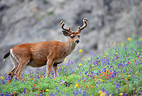 35-M07-DB-87    BLACK-TAILED DEER (Odocoileus hemionus columbianus) male  in wildflower meadow, Olympic National Park, Washington, USA.