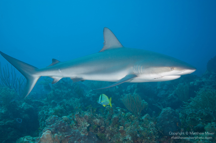Grand Bahama Island, The Bahamas; a Caribbean Reef Shark (Carcharhinus perezi) swimming over the coral reef