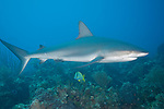 Grand Bahama Island, The Bahamas; a Caribbean Reef Shark (Carcharhinus perezi) swimming over the coral reef