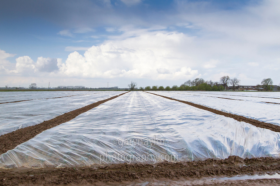Early summer cauliflower with plastic crop covers - Lincolnshire, April