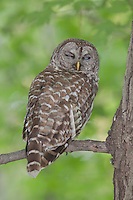 A Barred Owl (Strix varia) in the process of closing its eyes, shows the blue inner nictitating eyelids while roosting on the branch of a Maple tree, West Harrison, Westchester County, New York.