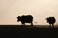 Cattle in silhouette on the shores of Lake Xau