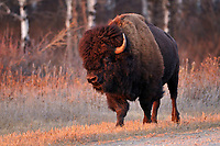 Plains bison is the largest land animal in North America