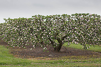 Commercial apple trees in flower<br /> Picture Tim Scrivener 07850 303986