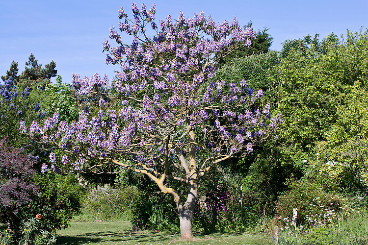 Foxglove tree (Paulownia tomentosa), private garden, East Sussex, late May.