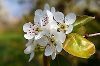 White cherry blossom on the orchard tree.